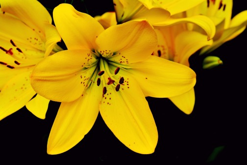 lily-2459044_1920